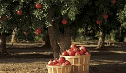 pomegranate_basket
