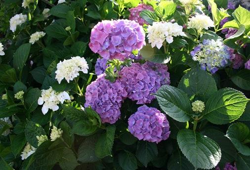flor hortencia 1