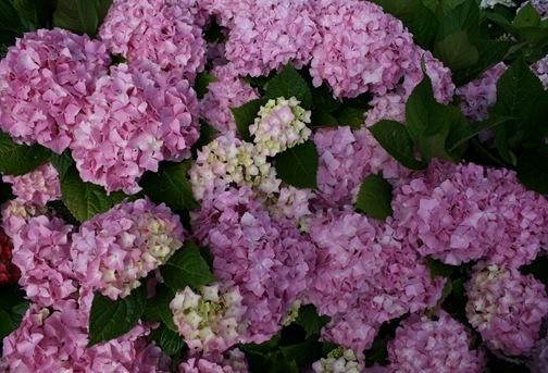 flor hortencia 38