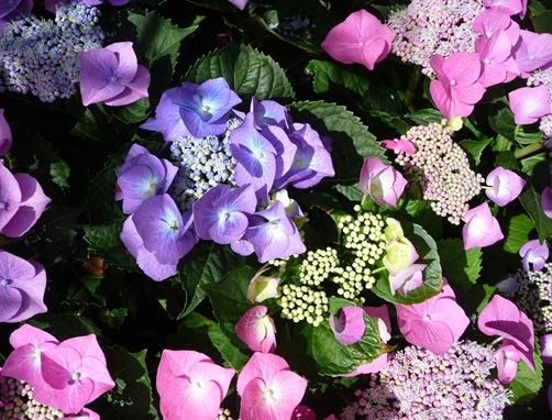 flor hortencia 59