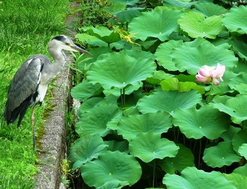 6. templo Toji - grou - tsuru e flor de lotus