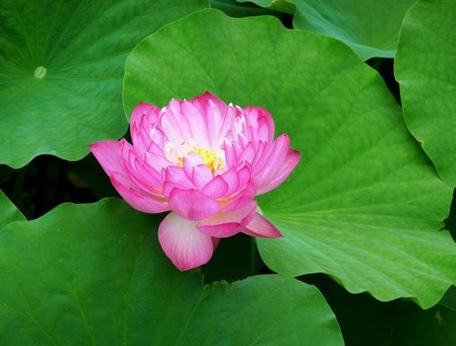 7 .templo Toji e flor de lotus