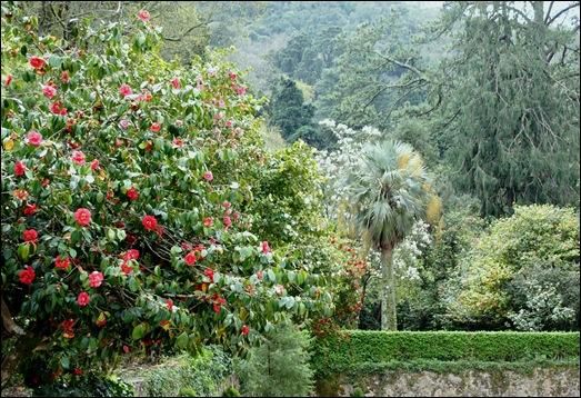 Buçaco - jardim do palácio - cameleiras 2