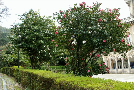 Buçaco - jardim do palácio - cameleiras 1