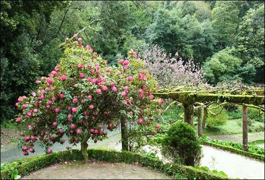 Buçaco - jardim do palácio - rododendro 2