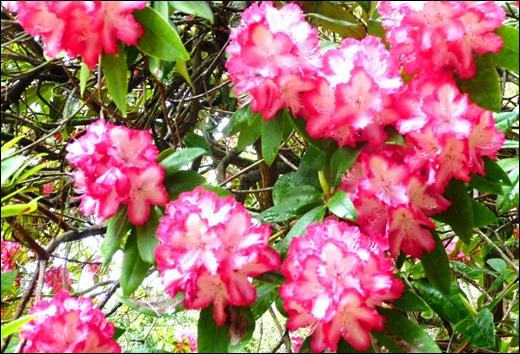 Buçaco - jardim do palácio - rodhodendron branco-rosa