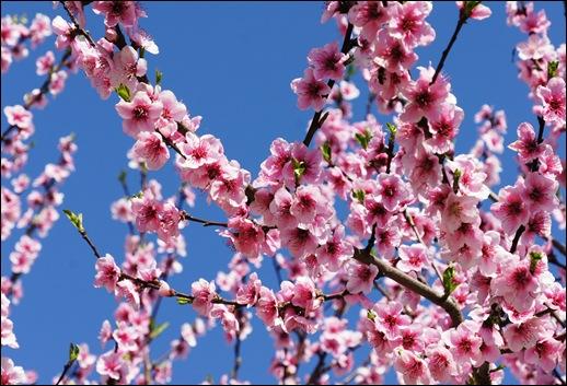 Resultado de imagem para pessegueiro em flor