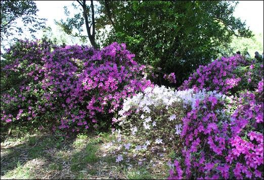 jardim serralves - porto - azaléias 8