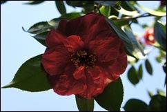 jardim serralves - flor camélia vermelha 3