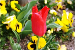 1.Trancoso -  tulipa vermelha