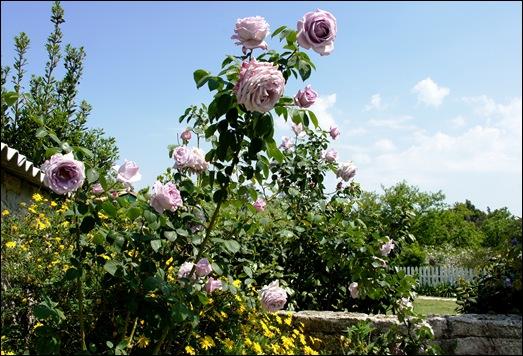 roseira - rosa lilás Gloria Ishizaka