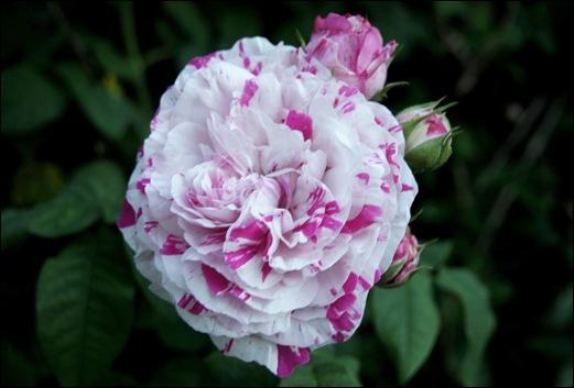 rosa mesclada 2 - Gloria Ishizaka