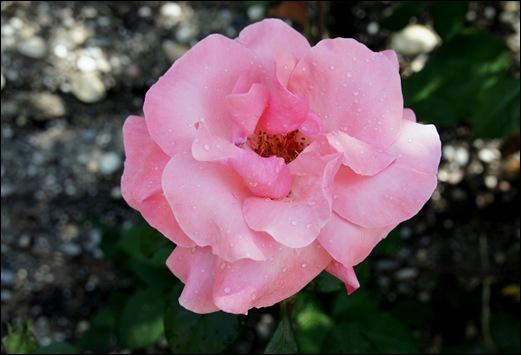 rosa rosa 2 - Gloria Ishizaka