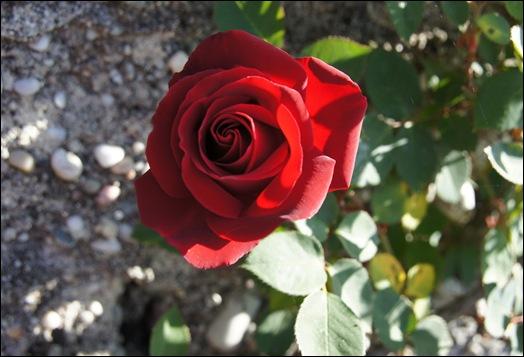 rosa vermelha 3 - Gloria Ishizaka