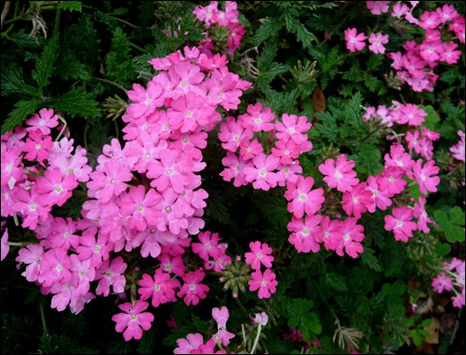 verbenas rosa - Gloria Ishizaka