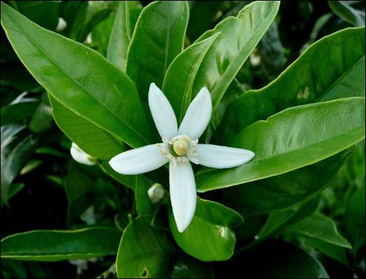 flor de laranjeira - Gloria Ishizaka