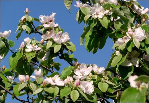 flor - marmelo 4 - Glória Ishizaka