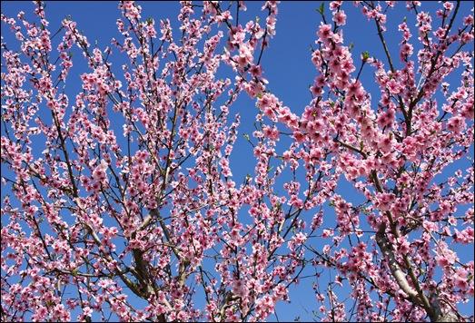 flor - pessego - Glória Ishizaka