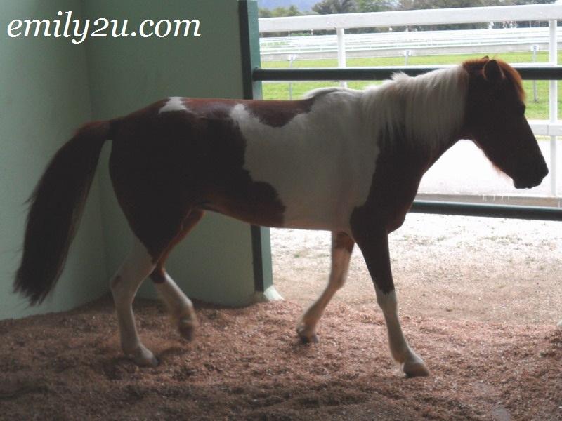 Java (Kelantanese Pony)