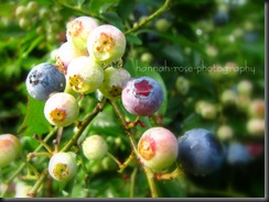 Blueberries 2010 009