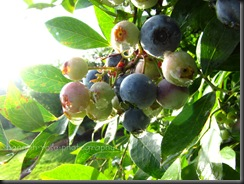 Blueberries 2010 021