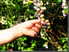 Blueberries 2010 070