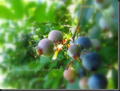 Blueberries 2010 190