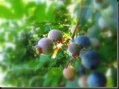 Blueberries 2010 190