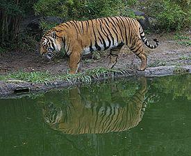 http://lh5.ggpht.com/_6nktQOihaMo/S21CN6Xs7HI/AAAAAAAAJWE/3U7Z-7pWNao/275px-Indochinese_Tiger.jpg