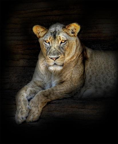 http://lh5.ggpht.com/_6nktQOihaMo/S21GfCfrW0I/AAAAAAAAJZM/ZydFlDW2Wis/lion04.jpg