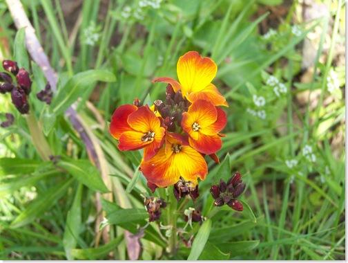 wall-flower