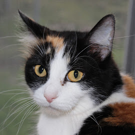 Beautiful Gold eyes by Jennifer Rhodes - Animals - Cats Portraits