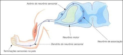 Neuronios Sensoriais e Motores