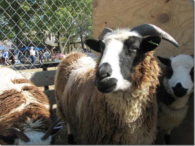 rosie the sheep