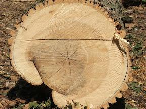 """(с) http://forum.pravda.com.ua/read.php?2,208339950,page=4 """"Вот такие деревья пилят, можно посчитать кольца."""""""