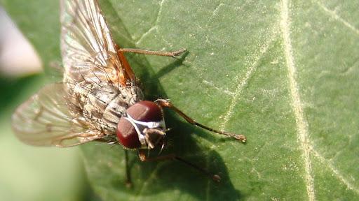 mosca foto macro