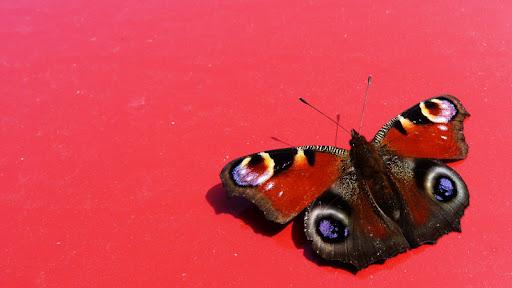 farfalla, inachis io, occhio di pavone, occhi