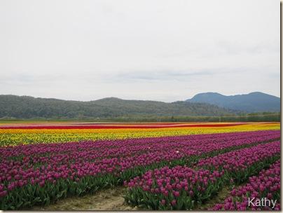 Tulip Festival 018