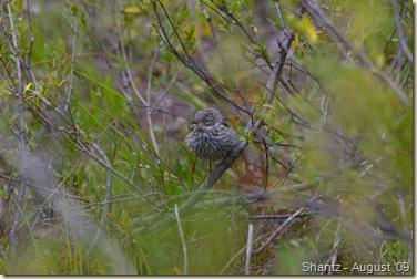 Fledgling Yelrump Warbler