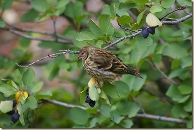 Pine Sisken eating Saskatoon Berries