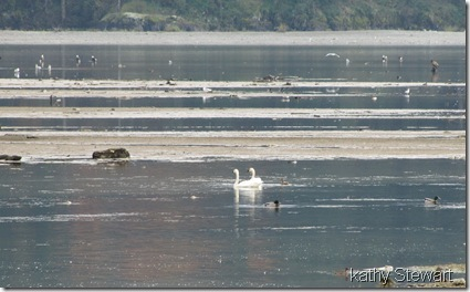 Tundra Swans at log bay