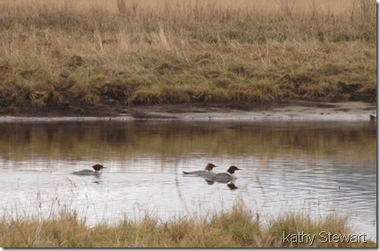 3 Common Merganser