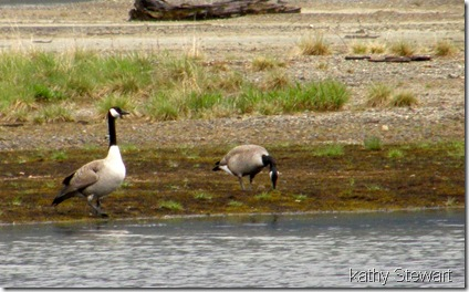 Geese grazing