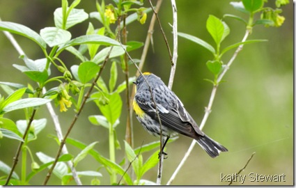 Yellow Rump Warbler in Black Twin Berry bush