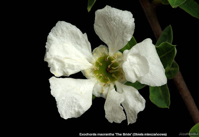 Exochorda macrantha 'The Bride' flower - Obiela mieszańcowa kwiat