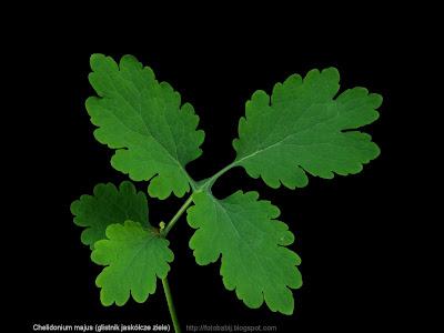 Chelidonium majus leaf - Glistnik jaskółcze ziele liść