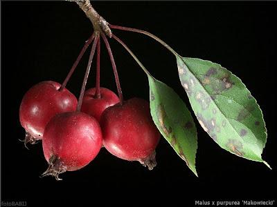 Malus x purpurea 'Makowiecki' fruit  - Jabłoń purpurowa 'Makowiecki' owoce