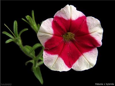 Petunia x hybrida - Petunia ogrodowa