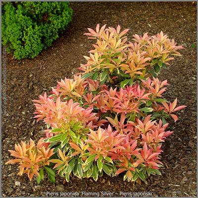 Pieris japonica 'Flaming Silver' habit- Pieris japoński 'Flaming Silver'pokrój rośliny majowymi przyrostami.
