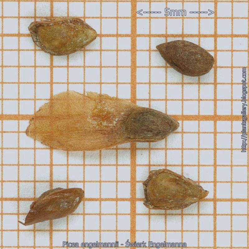 Picea engelmannii seed - Świerk Engelmanna nasiona